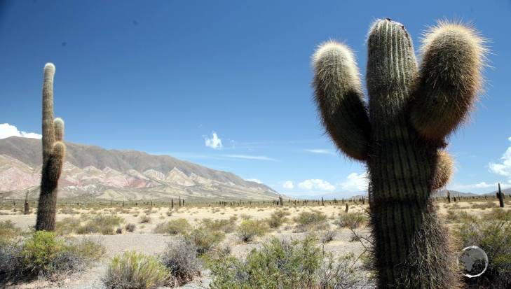 Cardon Grande cacti stand sentinel in the Los Cardones National Park, near Salta.