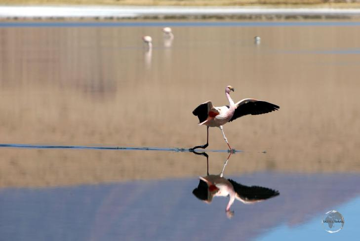 An Andean flamingo, landing on Canapa lagoon in the Salar de Uyuni, Bolivia.