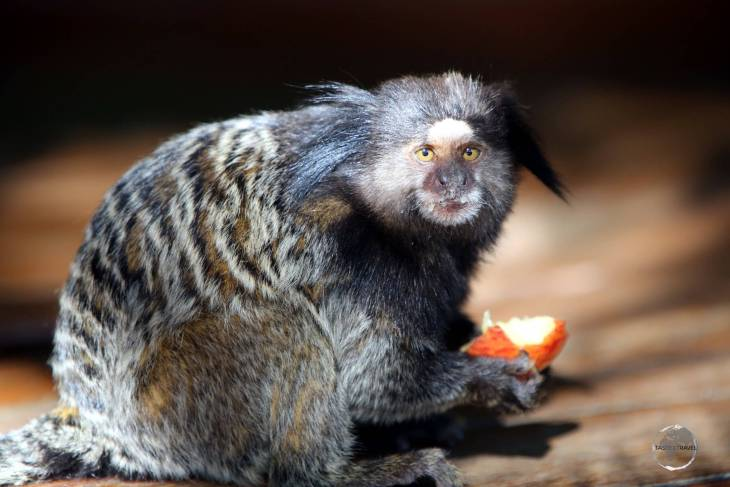 The Black-tufted marmoset, such as this one at Inhotim Botanical gardens, is a species of monkey found in the forests of the Brazilian Central Plateau.