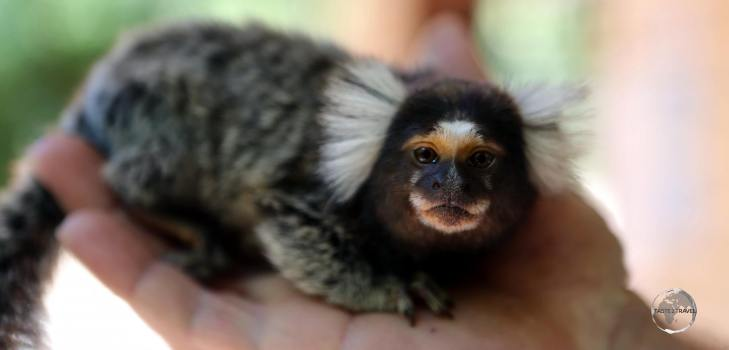 The very tiny, friendly and curious Common Marmoset, seen here at Pipa beach, is a common sight along the north-eastern coast of Brazil.