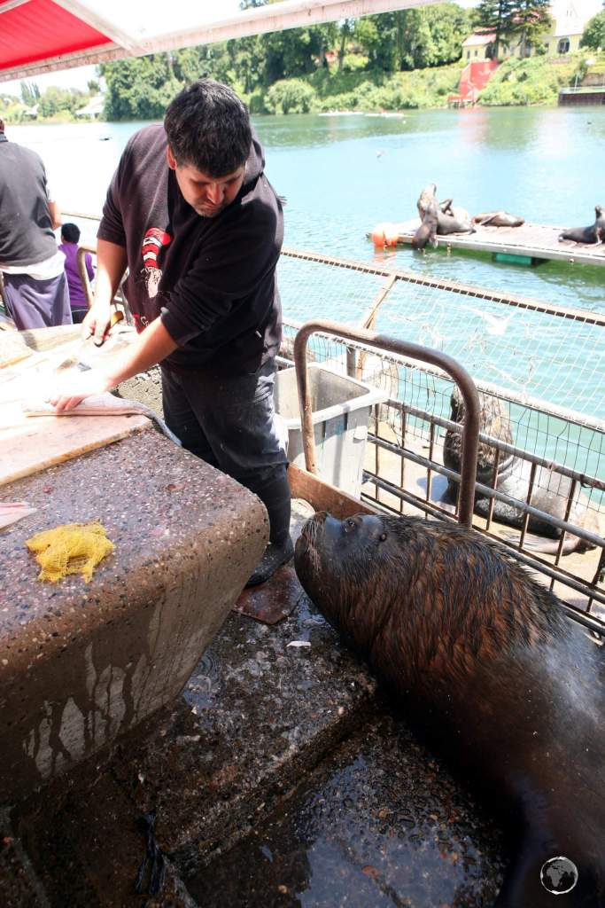 The port city of Valdivia is known for its 'urban' colony of South American sea lions which live in the port area, where a free fish meal is easy to find.