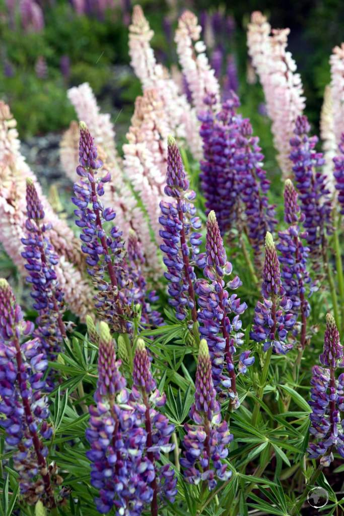 Lupins growing in a meadow on the slopes of Osorno volcano in southern Chile.