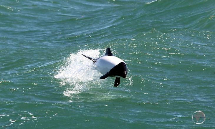 A truly bizarre sight, a Commerson's dolphin swimming alongside our ferry as we cross the Magellan channel from Tierra del Fuego to the South American continent.