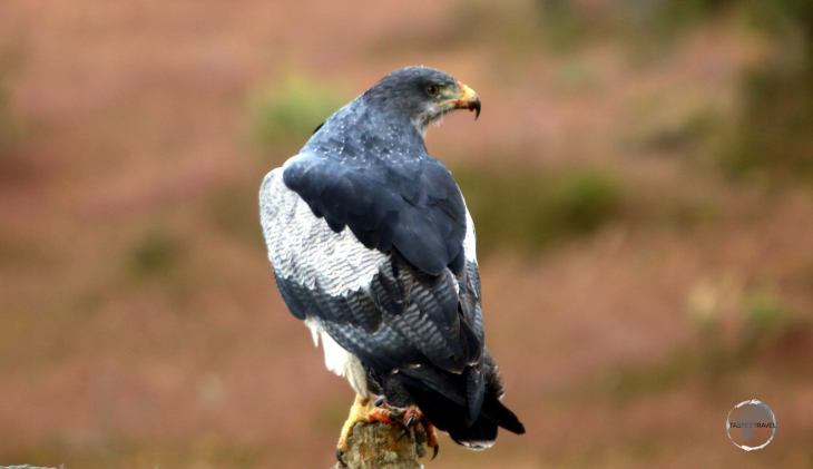 The Black-chested buzzard-eagle is a bird of prey found throughout Patagonia.