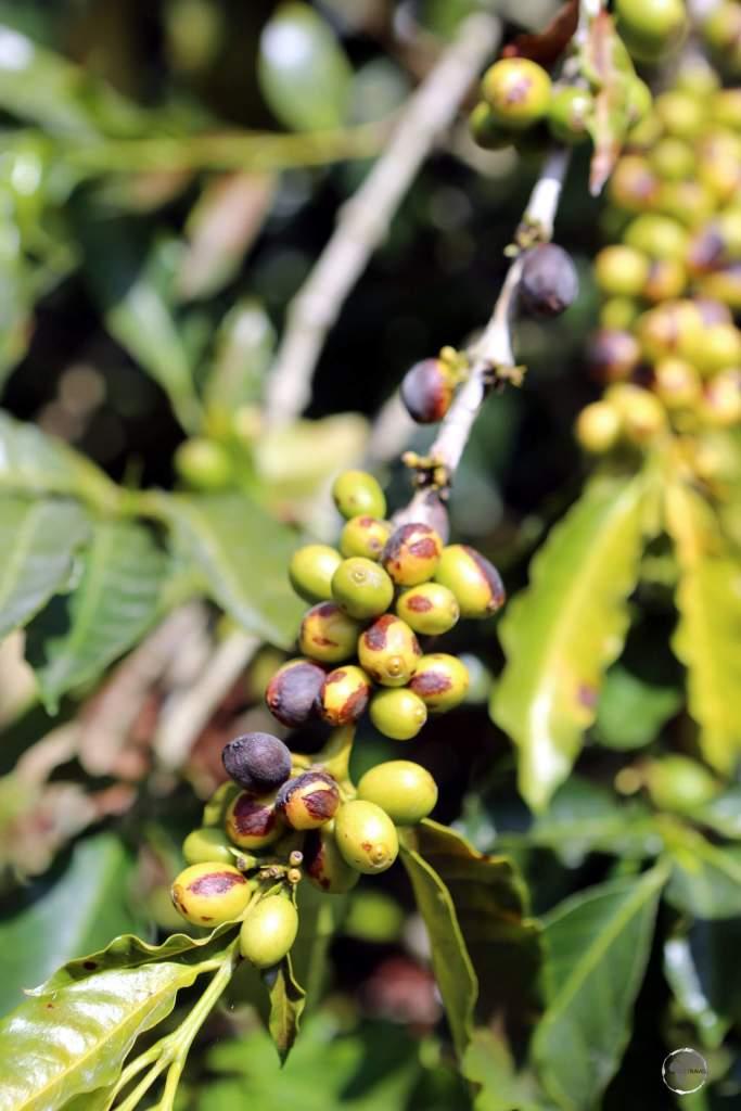 Coffee beans on a coffee tree at Hacienda Venecia, near Manizales, Colombia.