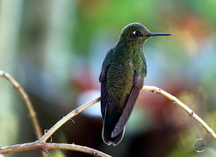 A Viridian Metaltail hummingbird at the 'Recinto del Pensamiento', Manizales, Colombia.