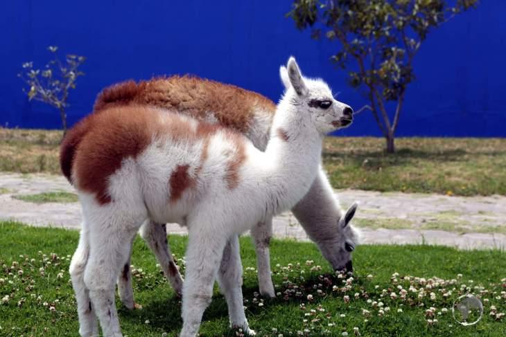 Baby llamas in Quito, the capital of Ecuador.