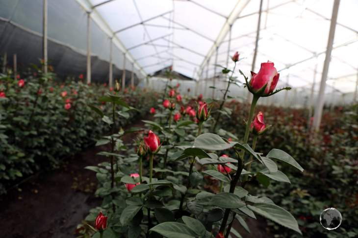 The main markets for Ecuadorian roses are the USA (44%), Europe (22%) and Russia (15%). While visiting this farm, I was offered bunches of 24 roses for US$1.50!