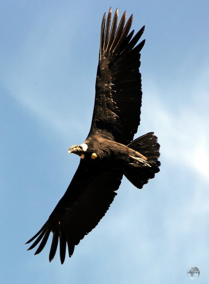 The largest raptor in the world, a fully grown Andean Condor, seen here in the Colca canyon, can reach a weight of 15 kg (33 pounds) and can stand an impressive 1.2 metres (4 ft) tall.