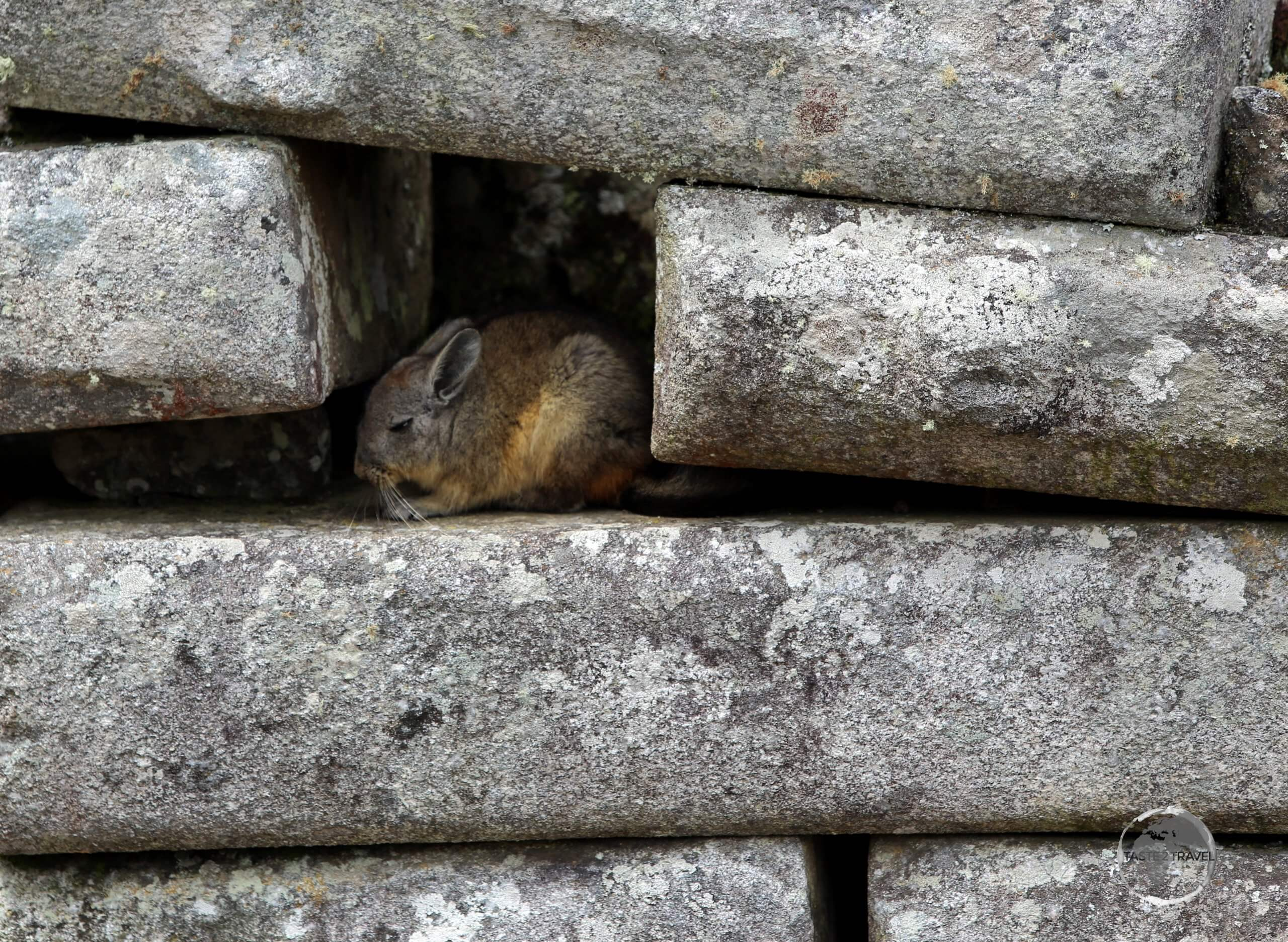 Hiding out among the ruins of Machu Picchu, a member of the rodent family, a Viscacha is native to South America and, while it looks similar to a rabbit, it isn't closely related.