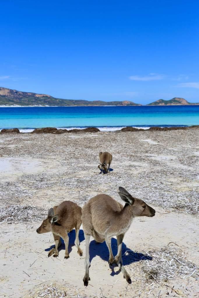 Kangaroos on the beach at Lucky Bay.