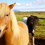 Icelandic horses on the Golden Circle.