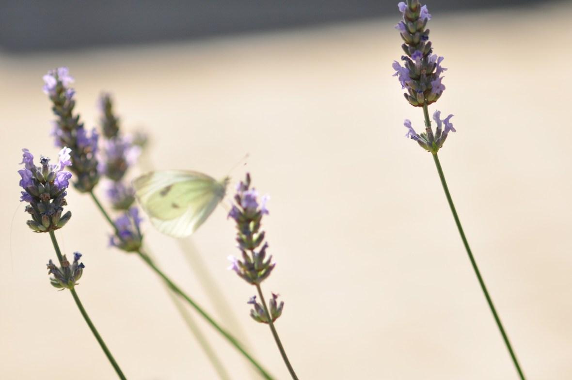 Lavendel in het eten