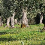olive-trees_DSC_4667