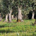 olive-trees_DSC_4667