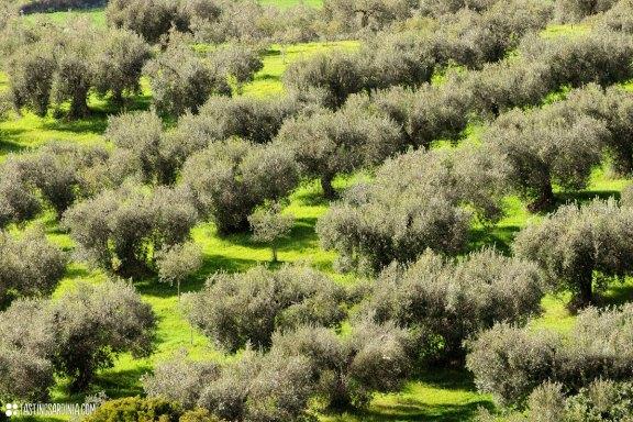 olive-grove_DSC_5573