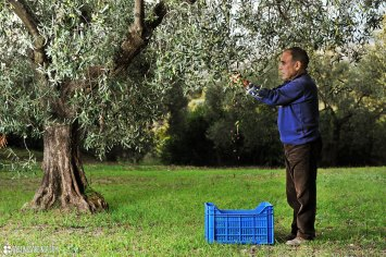 a local farmer picking up olives in his own olive grove