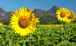 Khao-Chin-lae-Sunflower-Field