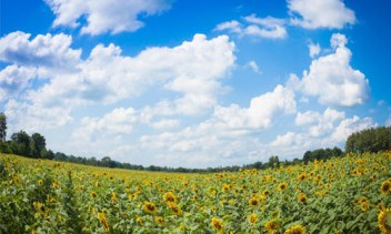 Sunflower fields in Central Thailand 10_L new
