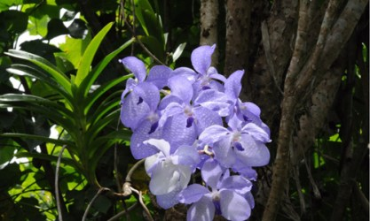 Asia-Pacific Orchid Conference 05