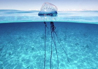 New jellyfish warning for Phuket and southern beaches