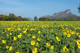 Sunflower Field at Khao Chin Lae, Lop Buri