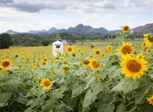 Sunflower fields of Rai Manesorn