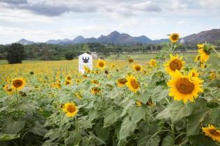 Sunflower fields of Rai Manesorn
