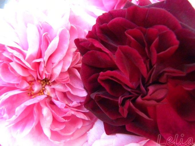 Die dunkle Blüte gibt eine schöne Farbe