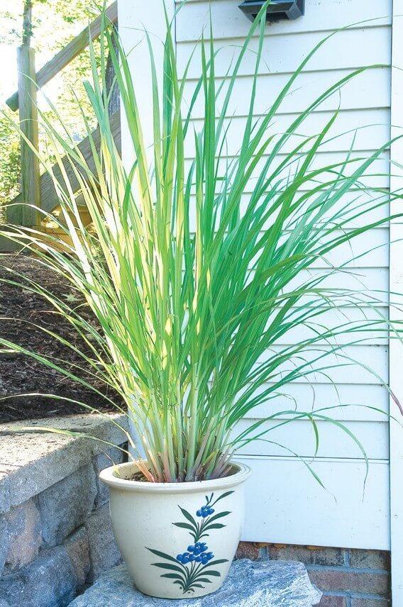 West Indian Lemon Grass   Plants That Repel Snakes