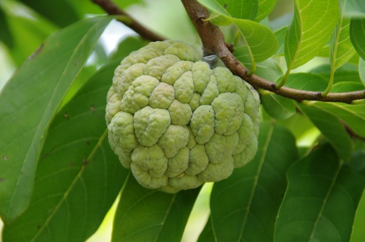 Cherimoya Benefits Tree, Seeds and How to Eat