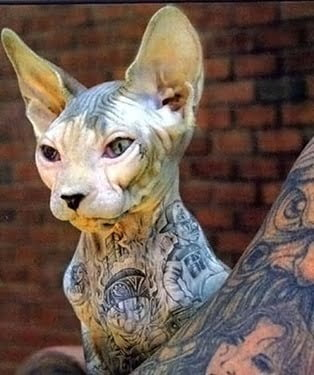 tattoed cat