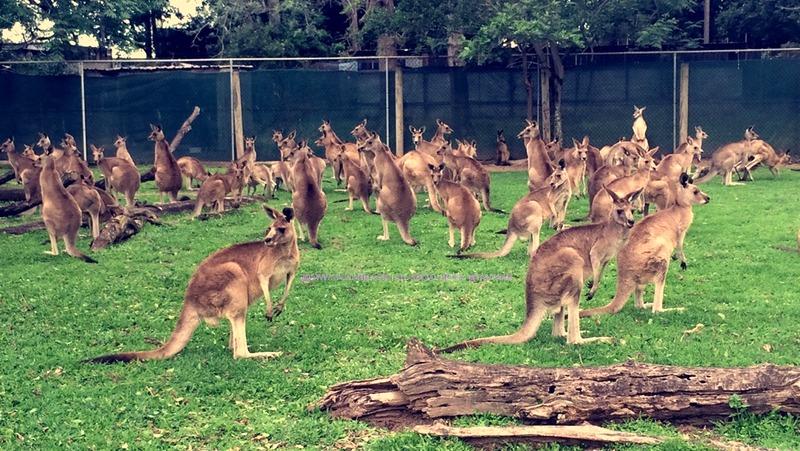 travel australia lone pine koala sanctuary tauyanm.com