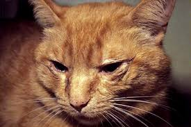 cat with upper respiratory infection