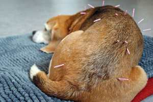 Beagle dog getting acupuncture