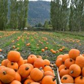 pumpkin-patch-2015-600x400