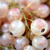 whiteberries-600x400