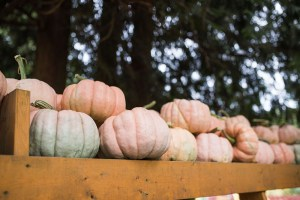 Taves Farms pumpkin patch