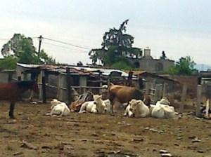 El Potrero, ganado de Tungareo, Michoacan
