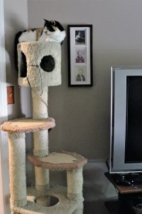 Autumn, enjoying her perch from her cat tree in the den