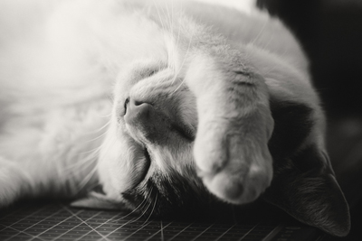A black and white photo of a sleeping cat with its paw over its face shows how we all feel with pandemic fatigue.