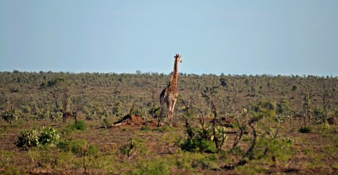 kruger national park, landscape, giraffe, gravel road, dirt road, family, travel, south africa, kids, kid friendly, road trip, sanparks, mpumalanga