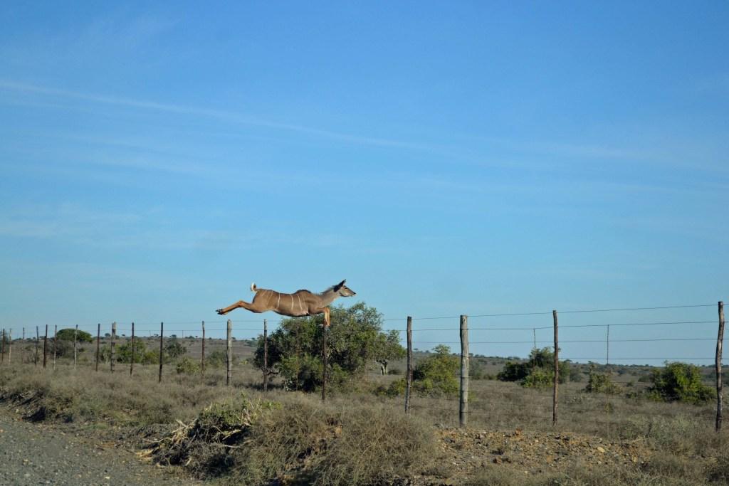 The flight of the Kudu
