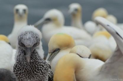 Die Jungtiere besitzen in den ersten Lebenswochen noch ihre flauschiges Dunenkleid.