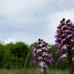 Knabenkräuter – wilde Orchideen
