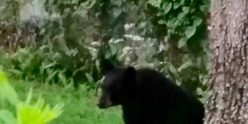 Tampa Police | Black Bear | Tampa Bear