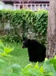 Black Bear Found in Tampa Neighborhood