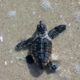 Sea Turtles   FWC   Sea Turtle Hatchlings