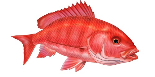 Red Snapper | Fishing | Gulf Fishing