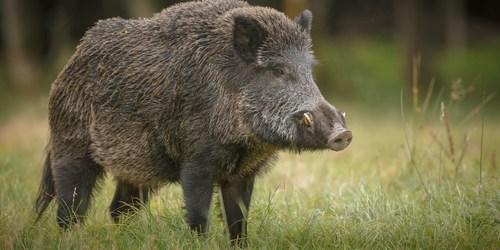 Wild Pig | Feral Hog | Wild Boar